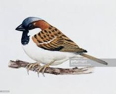 Image result for  sparrow drawing