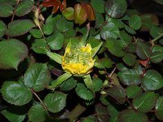 Розы: фото болезней и вредителей, описание и лечение - Садоводка