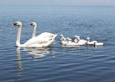Swans With Cygnets #swan #swans #cygnet #cygnets #photography #photo #birding #birdwatching #bird #birds #birdsofinstagram #art #artist #nature #wild #love