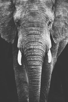Find images and videos about cute, black and white and nature on We Heart It - the app to get lost in what you love. Indian Elephant, Elephant Love, Elephant Art, Elephant Images, Elephant Pictures, Elephant Photography, Wildlife Photography, Animal Photography, Cute Baby Animals