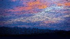 Snow Goose Migration, Saint-François River, Quebec, Canada (© David Doubilet/Getty Images)