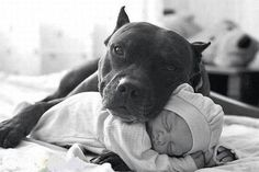 Look at the love this pit bull dog has for the new infant in his Family.  So protective!