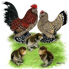 Mille Fleur d'Uccle Bantam Chickens-  So pretty!