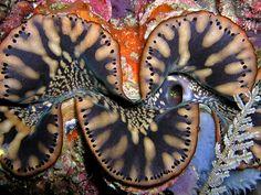 Tridacna squamosa giant clam mantle near Manatuto, East Timor.