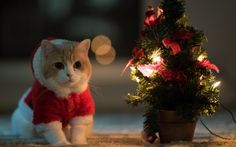 Cat Wearing A Santa Costume Sitting under Christmas Tree hd wallpaper by jessicanguyen Tree Hd Wallpaper, New Year Wallpaper, Christmas Kitten, Christmas Mood, Holiday Fun, Merry Christmas, Cute Baby Animals, Funny Animals, Share Pictures
