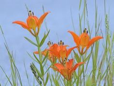 Proshots - Wood Lily, Bow Valley Provincial Park, Alberta - Professional Photos