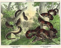 Schubert's Reptile Chromo - TWO LARGE SNAKES - BOA CONSTRICTOR -1886