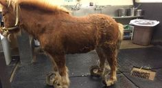 Neglected Horse Had Hooves So Long, Every Step Was Agony