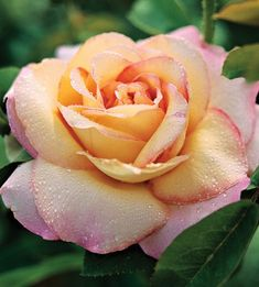 """Peace Rose"" is classified as a yellow rose.  An older rose that I have loved since it first came out.  Has a wonderful scent, too."