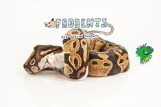Reptile owners both new and veteran alike must take special care when feeding their pet snakes. Learn the best way to feed your slithering friend with frozen rodents.   #FrozenRodents #FrozenMice #FrozenRats #FrozenPinkyMice #StrictlyReptiles #Frodents