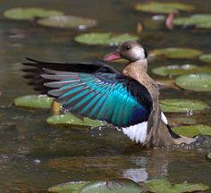 PÉ-VERMELHO ( Amazonetta brasiliensis) by Dario Sanches, via Flickr