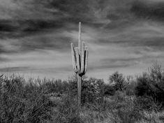 "cactus photography black and white nature art print ""lone Saguaro"" minimal botanical Sonoran desert Arizona cirrus cloud sky large wall"