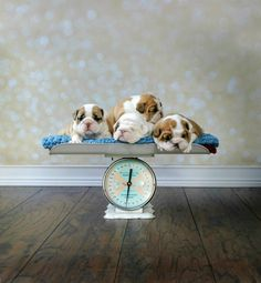 No more bland Bulldog websites! Well designed and informative writing coupled with inspiring photos and relevant topics for the modern, Bulldog loving family! Newborn Puppies, Baby Puppies, Cute Puppies, Cute Dogs, Dogs And Puppies, Boxer Puppies, Chihuahua Dogs, Doggies, English Bulldog Pictures