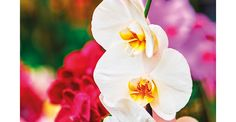 Como cultivar... orquídeas! | <i>Crédito: Shutterstock