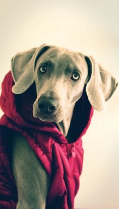 ♥ some love for Michelle on this cold wintery day! Blue Weimaraner, Weimaraner Puppies, Dogs And Puppies, Doggies, I Love Dogs, Puppy Love, Cute Dogs, Most Beautiful Dogs, Dog Pin