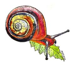 Tipsy Scribbles: Cuban Land Snail Sketch Watercolor