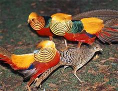 The Golden Pheasant is incredibly beautiful yet easy to breed and very affordable! Suggested as a good starter bird.