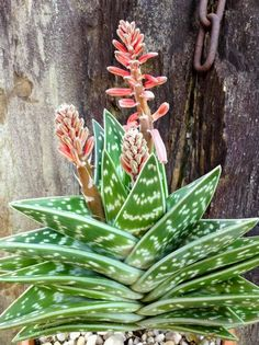 Aloe Vera Flores,Rare Herb Bonsai Plantas Tree Plante For Home Garden Diy,Edible Beauty Cosmetic Use Fruit Vegetable Pots Flower Garden Plants, Bonsai Flower, Planting Succulents, Succulent Gardening, Cactus Plants, Bonsai Plants, Succulents, Plants, Desert Plants