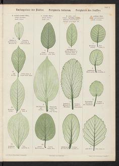 Georg Christian Reuss | Pflanzenblätter in Naturdruck mit der botanischen Kunstsprache für die Blattform (1869)