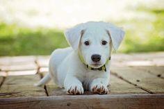 Výcvik psa, výchova štěněte | Zajímavosti Labrador Retrievers, Retriever Puppies, Pet Puppy, Dog Cat, Puppy Care, Puppy Husky, Pet Pet, Cute Puppies, Dogs And Puppies