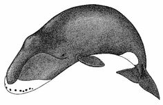 Some of the bowhead whales in the icy waters off of Alaska today are over 200 years old