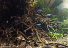 Online Aqurium Shopping: Secrets, Advice And Tips You Need Tropical Freshwater Fish, Tropical Fish Tanks, Freshwater Aquarium Fish, Discus Tank, Biotope Aquarium, Salmon Fishing, Catfish Fishing, Aquarium Landscape, Forest Tattoos