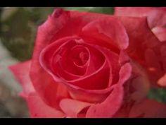 AUTUMN ROSE  ( Ernesto Cortazar ).wmv  Boiko, mili,  hubav moi , celuvam te  , moia topla liubov