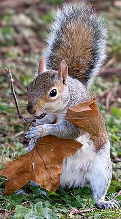 Creature of autumn.  A squirrel's bushy tail serves many purposes, such as for balance so they can maneuver quickly through the trees without falling. It is also used as a 'parachute,' as a blanket in the winter time, and to communicate with other squirrels...