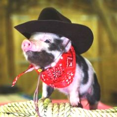 My future pet teacup pig.......                                 !!!!!!!!!!!!\\\\      Now this is some country style bacon