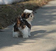 Shih Tzus, Shih Tzu Puppy, Shitzu Puppies, Cute Puppies, Cute Dogs, Dogs And Puppies, Doggies, Lion Dog, Dog Cat