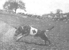 Dog Law Reporter: Red Cross, Iron Cross: Ambulance Dogs in World War I