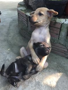 Two Stray Puppies Become Inseparable Since Being Rescued. Two puppies got rescued by nuns from a Temple in Vietnam and they won't stop hugging each other Cute Baby Animals, Animals And Pets, Funny Animals, Love Pet, I Love Dogs, Cute Puppies, Dogs And Puppies, Dog Cuddles, Tier Fotos