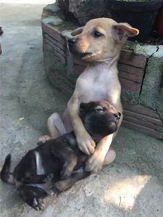 Dois filhotes de cachorro abandonados foram recentemente adotados por freiras budistas na China, e os dois não pararam de se abraçar desde então. Apesar do filhote maior aparentar ser ainda muito pequeno e incapaz de sequer cuidar de si mesmo, ele continua segurando seu amigo mais jovem ternamente para protegê-lo.