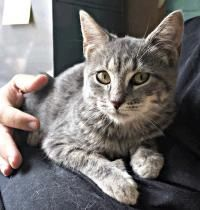 Jerry - Domestic Short Hair