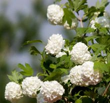 Snowball Bush*blooms in early summer, .Full or Partial Sun.
