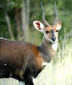 The Bushbuck of South Africa a challenging animal to hunt!!