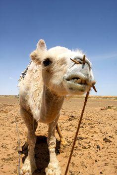 The Gobi Desert, Mongolia, Camels,