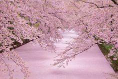 【行ってみたい場所】 見られるのは1年のうちわずか数日!ある公園の「桜の絨毯」が息をのむ美しさ - Spotlight (スポットライト)