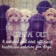 doterra essential oils for dogs