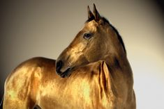 GOLD! The horses of the Akhal-teke breed are famous for the golden shimmer of their coat. They are thoroughbreds (like English thoroughbreds and Arabians) and originate from Turkmenistan. The breed is thought to be over 2000 years old and is one of the very earliest horse breeds known.