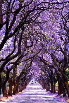 Ok. If this image is real, I gotta visit! Jacaranda Tree Tunnel, Sydney, Australia.