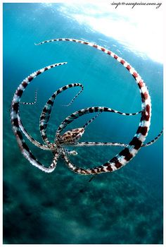 A mimic octopus going into defensive mode, mimicking a lion fish to fend off photographer Imran Ahmad B Rayat Ahmad #sea #ocean 바카라카지노 바카라카지노 바카라카지노 바카라카지노 바카라카지노 바카라카지노 바카라카지노