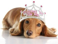 Spoil Your Pet Day pic of a dachshund in a tiara on BarkandSwagger.com