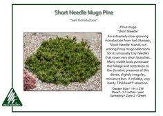 Pinus-mugo-ShortNeedle
