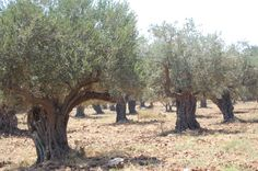 Olive Trees Photo:  This Photo was uploaded by franciedy. Find other Olive Trees pictures and photos or upload your own with Photobucket free image and v...