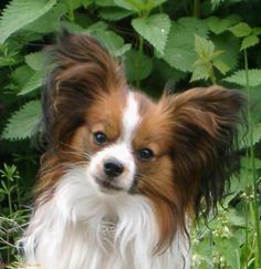 Download Small Dogs picture, '<b>Papillon</b> Dog'.