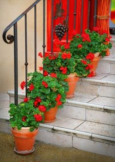 red geraniums on the door steps