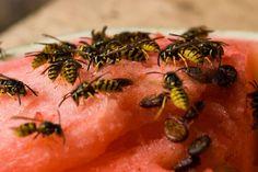 De gouden tips tegen die akelige beestjes Mieren, muggen en wespen schieten deze zomer als paddenstoelen uit de grond. Vooral v...