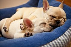 Sleepy squishy faces …Precious fawn Frenchies!!!