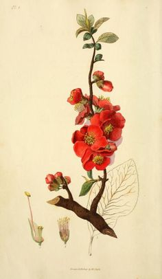 Chaenomeles  is a genus of three species of deciduous spiny shrubs, in the family Rosaceae . Related to the quince (Cydonia oblonga) and the Chinese quince (Pseudocydonia sinensis)